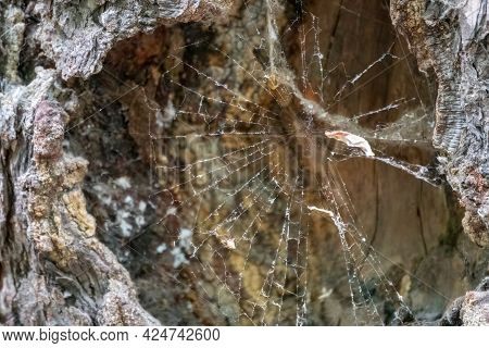 Spider Net In The Hollow In The Tree. Natural Forest Background