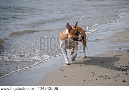 One White And Brown Dog Walking On The Beach Beside Water. Tranquil Scene.