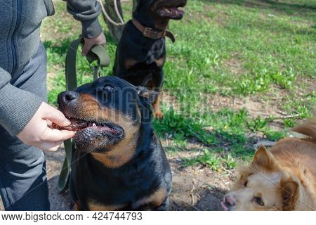Handler Rewards The Dog With A Treat For Proper Command Execution. Woman Feeds A Female Rottweiler D
