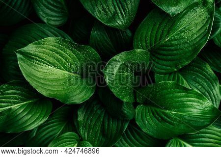 Green Leaf With Water Drops For Background. Tropical Concept, Green Background. Plant Host Close-up.