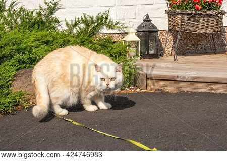 Scottish Cat. Golden Cat. A Cat On A Leash Walks In The Yard. Big Cat. Pets. High Quality Photo