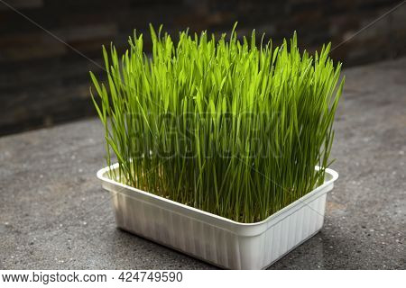 Wheat Grass. Sprouted Wheat Grains In A Plastic Container. Wheatgrass For Human Consumption. Diet Co