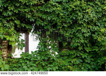 Wooden Window In A Traditional European Country House. A Wall Overgrown With Wild Grapes, Green Foli