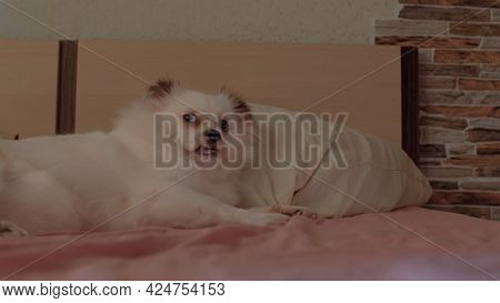 Close Up Of White Spitz Lying On Bed And Sticking Out Her Tongue. Relaxed Cute Dog Showing Tongue.