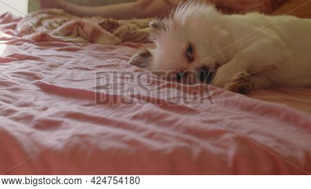 Close Up Of Sleepy White Spitz Licking Paw, Lying On Bed. Relaxed Cute Dog Meditates And Falls Aslee