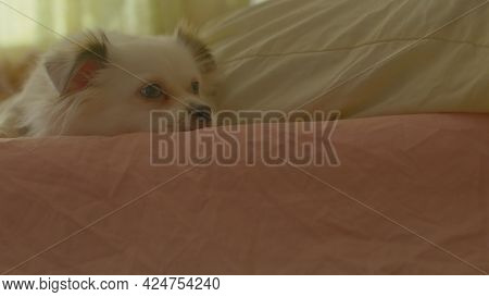 Close Up Of Sleepy White Spitz Licking Mistress' Leg, Lying On Bed. Relaxed Cute Dog Meditates And F