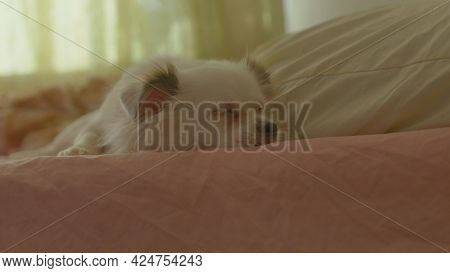 Close Up Of White Spitz Sleeping On Bed. Cute Dog Rests, Lying On Bed In Room.