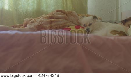 Close Up Of White Spitz Lying On Bed Next To Owner. Relaxed Cute Dog Resting Near Sleeping Woman On