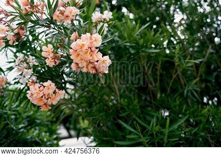Oleander Tree Blooming With Pink Flowers. Close-up