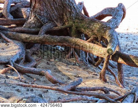 Coastal Erosion: Exposed Pine Growing Roots On Beach Sand By The Baltic Sea, Latvia