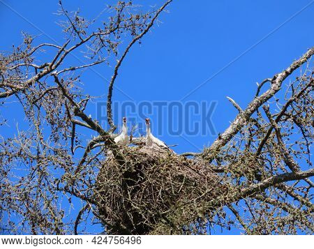 Stork In Nest High On Top Of Leafless Larch Tree In Early Spring In The Biggest White Stork Ciconia