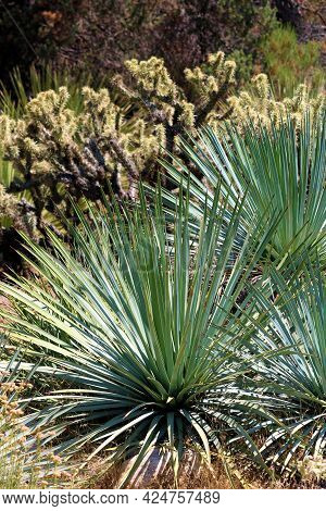 Yucca Plants And Cacti Shrubs Taken On Arid Badlands Taken At A Chaparral Woodland In The Rural Moja