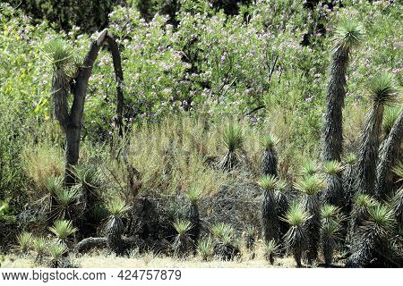 Joshua Trees Besides Chaparral Plants And Wildflowers At A Chaparral Woodland Taken In The Rural Moj