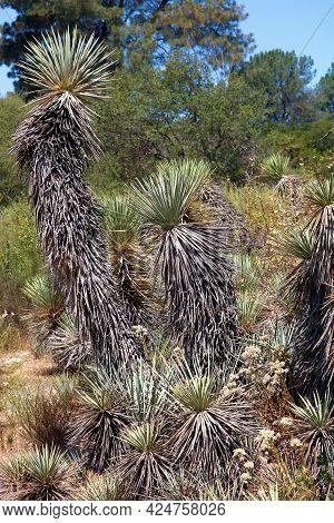 Joshua Trees On A High Desert Plateau With A Pinyon And Juniper Woodland Beyond Taken At An Arid Fie