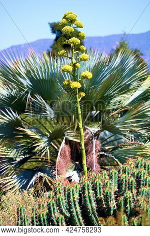 Agave Plant Flower Blossoms Besides A Mexican Blue Palm Tree Surrounded By Cacti And Spring Wildflow