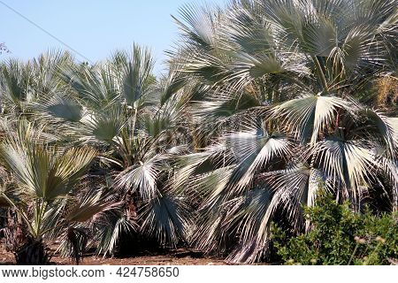 Mexican Blue Palm Trees Which Are Native To Baja California Taken On An Agricultural Ranch At A Drou