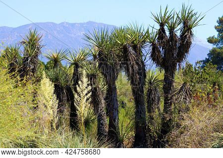 Joshua Trees Besides Yucca Plants And Chaparral Shrubs On An Arid Plateau With The San Gabriel Mount