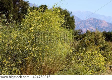 Chaparral Shrubs Including The Palo Verde Tree With Spring Flower Blossoms On A High Desert Plateau