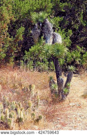 Joshua Tree Besides Cacti Plants With A Juniper And Pinyon Pine Forest Beyond Where The Desert And M