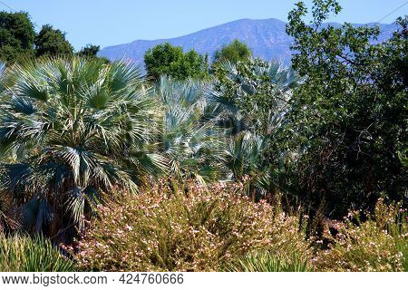 Chaparral Shrubs And The Mexican Blue Palm Trees Surrounded By Spring Wildflowers With The San Gabri