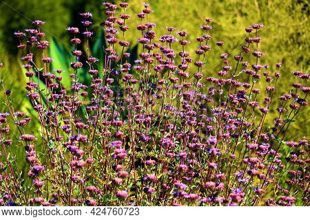 Black Sage Plant Flower Blossoms During Spring On The Southern California High Desert Plateau Taken
