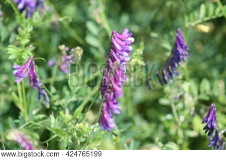 Hairy Vetch In Bloom Close-up View With Green Plants In Background