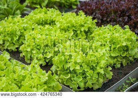 Fresh Organic Green Oak Lettuce Growing On A Natural Farm. Photosynthesis Salad Vegetables On The So