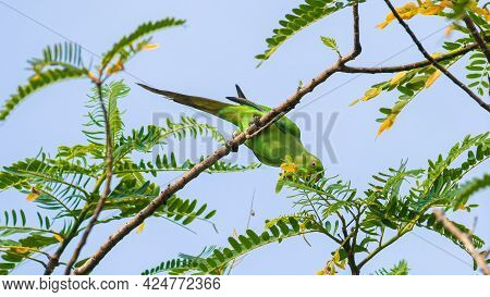 Rose Ringed Green Parakeet Eating Seeds And Leaves, View From A Low Angle.