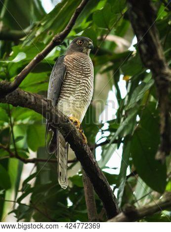 Shikra Bird Resting, Majestic Beast Watchful Of The Surroundings,