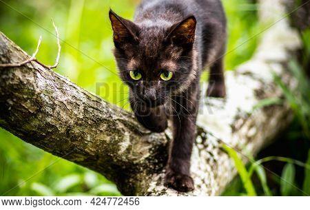 Cute Young Cat Walking On A Fallen Tree Trunk Like A True Predator,
