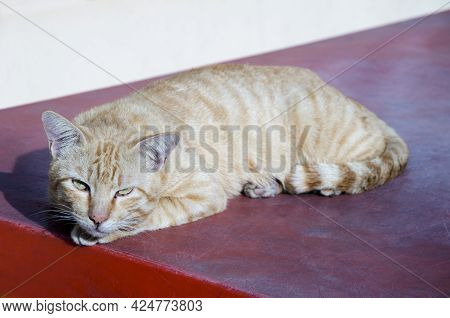 Cat Lay Down And Look Forward With White Background