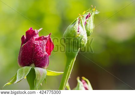 Red Rose. Rose Buds In The Garden On A Natural Background After The Rain. Flowers And Buds Of Red Ro