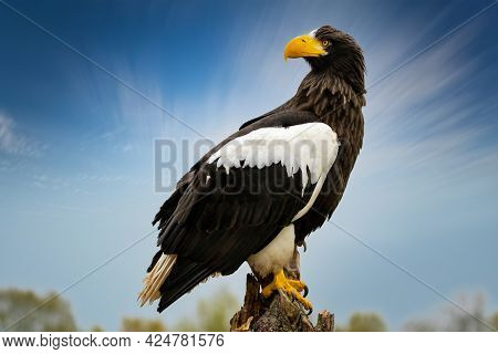 Stellers Sea Eagle Sits On A Stump Against The Background Of A Blue Sky And Trees. The Bird Of Prey