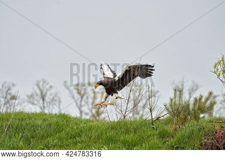 Close-up Of A Stellers Sea Eagle. The Bird Of Prey Lands With Outspread Wings On Grass. Against The
