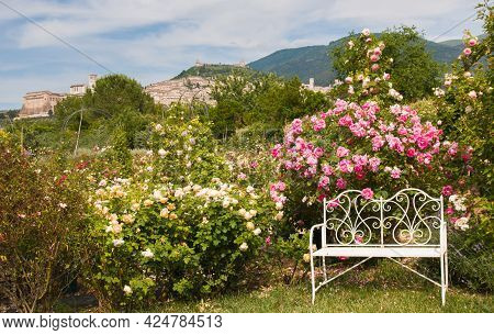 Romantic English Rose Garden With Whtie Bench And Assisi In The Background
