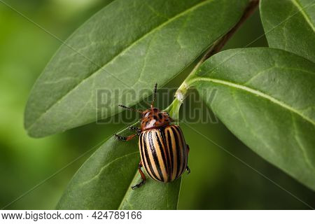 Colorado Potato Beetle On Green Plant Against Blurred Background, Closeup