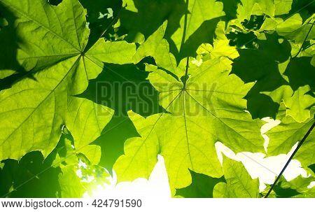 Fresh Green Maple Foliage Illuminated By Bright Sunlight, Close-up