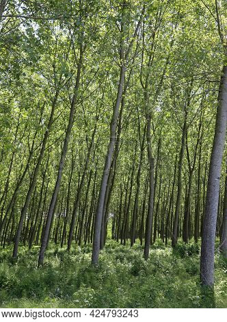 Intensive Cultivation Of Poplars Trees With Long Trunk Planted To Obtain Cellulose For The Paper Ind