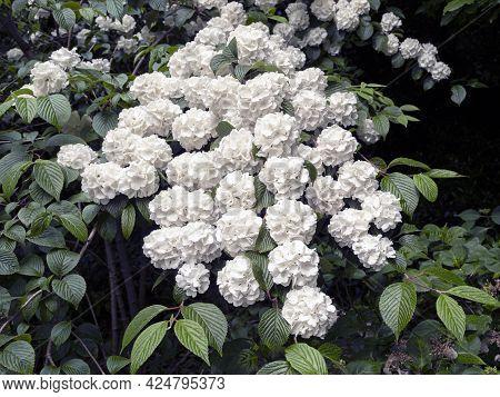Beautiful White Flowers On A Japanese Snowball Bush