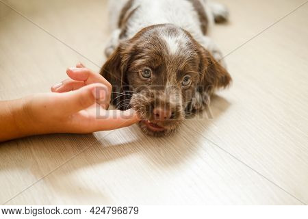 Russian Spaniel Brown Merle Puppy Dog Bit The Finger Play With Kid