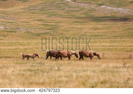 Group Of Many Horses In The Wild Grazing And Grazing The Grass Undisturbed In The Boundless Prairie