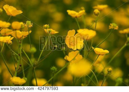 Close Up Of The Beautiful Yellow Buttercups, Blooming In Spring, East Groningen Province, Netherland