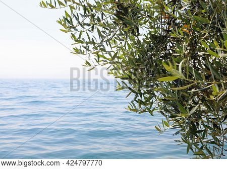 Olive Tree Near The Water With The Mild Climate Facilitates The Production Of Olives