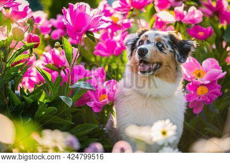 Cute puupy dog in flowers. Portrait of an australian shepherd in a flower garden