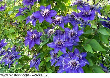 Blue Clematis Climbs A Support Against A Background Of Green Leaves. Banner Of Blue And Purple Clema