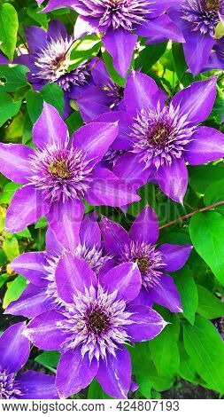 Violet Clematis On A Background Of Green Leaves Close-up. Selective Focus. Vertical Background. In S