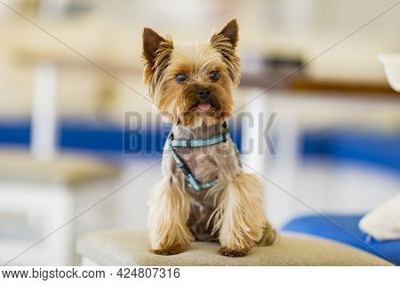 Yorkshire Terrier Little Puppy. Beautiful Dog Small Breed. Cute Little Dog.a Little Fluffy Male Wash