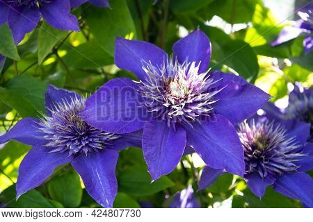 Blue Clematis On A Background Of Green Leaves Close-up. Selective Focus. In Summer, Beautiful Flower