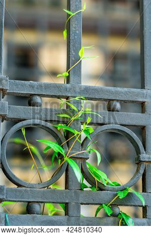 Forged Fence Close-up And A Branch Of A Vine