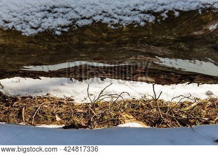 Close Up Photo Of Dry Grass Melted Out Of Snow Under The Fallen Tree Trunk. Sun Is Melted Snow Under